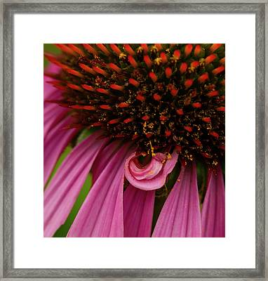 Echinacea Spit Curl Framed Print by Jean Noren
