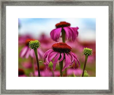 Echinacea Surround Framed Print by Jean Noren