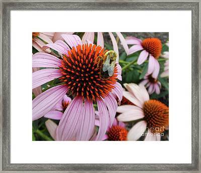 Echinacea Tea Time For Bee Framed Print