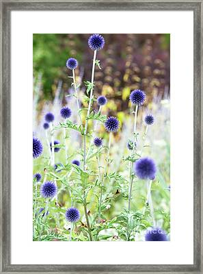 Framed Print featuring the photograph Echinops Ritro Veitchs Blue by Tim Gainey