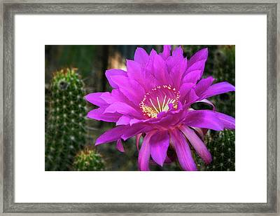 Framed Print featuring the photograph Echinopsis In Hot Pink  by Saija Lehtonen
