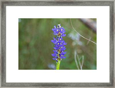 Edible Pickerel Weed Framed Print