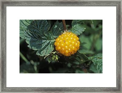 Edible Yellow Salmonberry Rubus Framed Print by Rich Reid