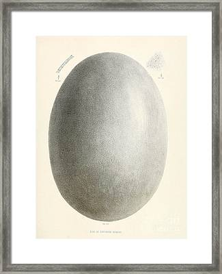 Egg Of Dinornis, Giant Moa, Cenozoic Framed Print