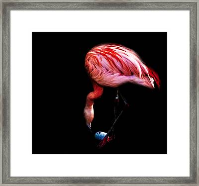 Egg Rolling Flamingo Framed Print by Martin Newman