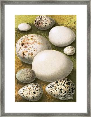 Eggs Framed Print by English School