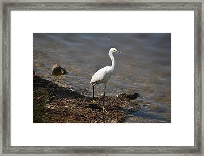 Egret 1 Framed Print by Gordon Mooneyhan