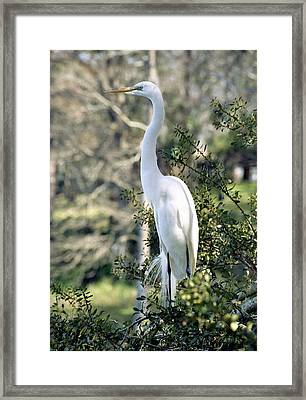 Egret 2 Framed Print by Michael Peychich