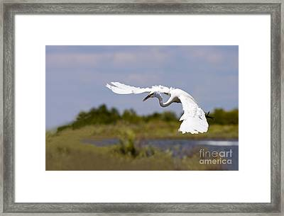 Egret Ballet Framed Print by Mike  Dawson