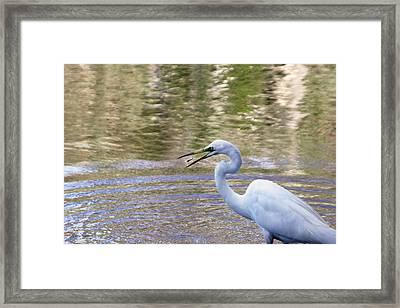 Egret Catching A Fish Framed Print