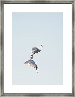 Egret Dance 2 Framed Print by Catherine Lau