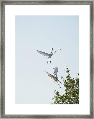 Egret Dance Framed Print by Catherine Lau