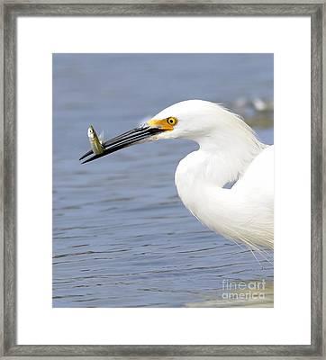 Egret Eating Framed Print by Marc Bittan
