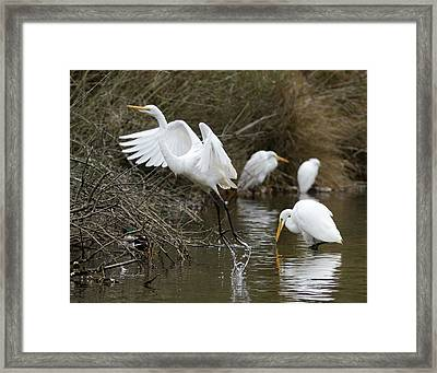 Egret Exit Framed Print by George Randy Bass