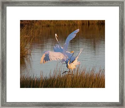 Egret Fight Framed Print