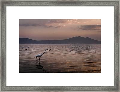Egret Fishing In Lake At Sunset Framed Print by Dane Strom