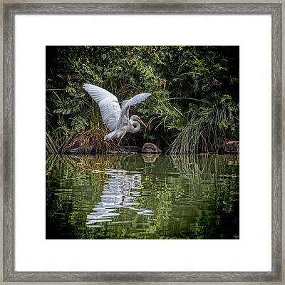 Egret Hunting For Lunch Framed Print