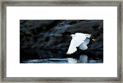 Egret In Flight Framed Print by Brian Roscorla