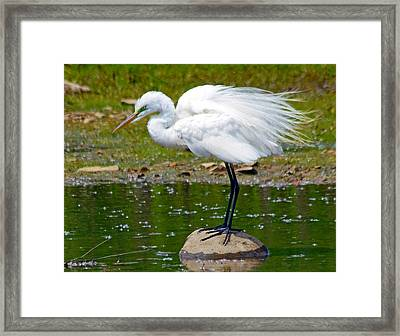 Egret In Mating Plumage Framed Print by Kristine Quandee