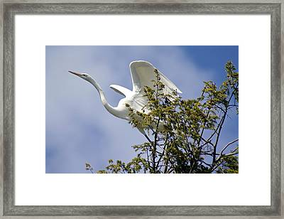 Egret On Angels Wings Framed Print