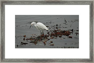 Egret On Seaweed Raft Framed Print