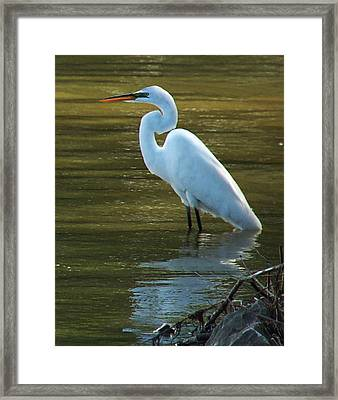 Framed Print featuring the photograph Egret Resting by Kathleen Stephens