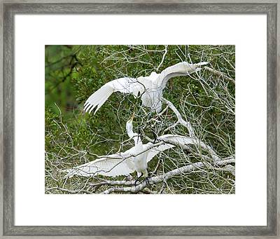 Egret Rumble Framed Print by George Randy Bass