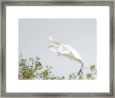 Egret-taking Flight Framed Print by Keith Lovejoy