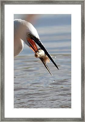 Egret With Fish Framed Print by Bob Kemp