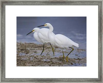 Egrets Feeding In Sea-foam Framed Print by Bruce Frye