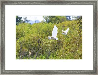 Framed Print featuring the photograph Egrets In Flight by Jennifer Casey