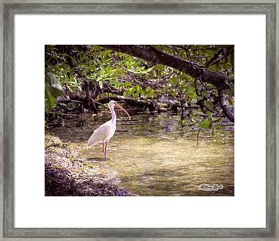 White Ibis Mexico Framed Print