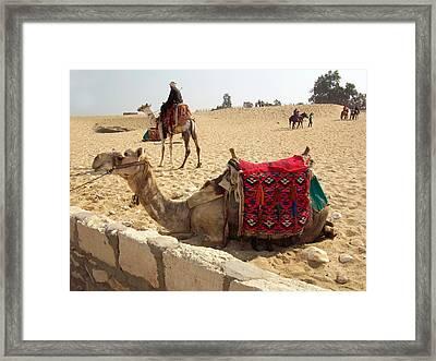 Egypt - Camel Getting Ready For The Ride Framed Print by Munir Alawi