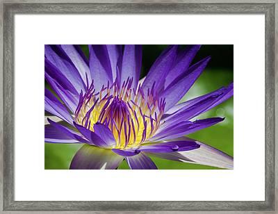 Egyptian Blue Lily Framed Print by MaViLa