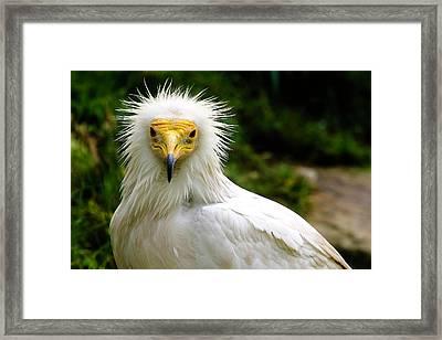 Egyptian Vulture Framed Print