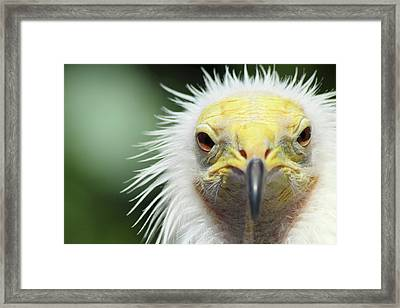 Egyptian Vulture Framed Print