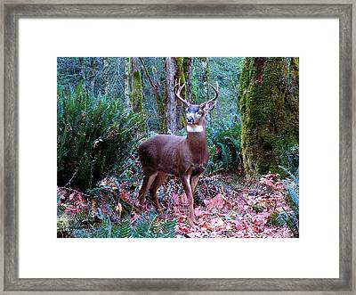 Eight Point Buck Framed Print