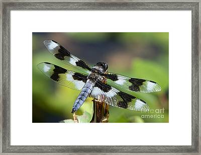 Eight-spotted Skimmer  Framed Print