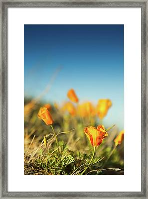 El Paso Poppies Framed Print