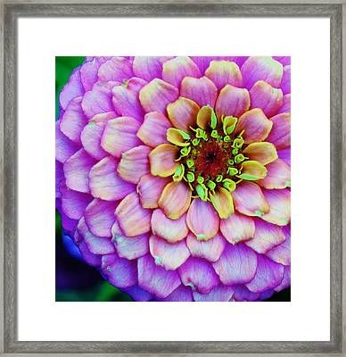 Electrifying Zinna Framed Print