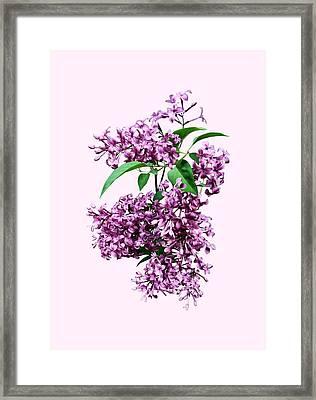 Elegant Lilacs Framed Print by Susan Savad