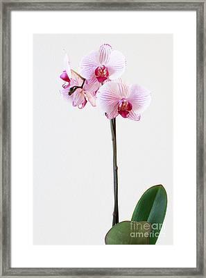 Elegant Orchid Framed Print by Anita Oakley