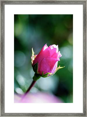 Elegant Pink Rose Bud With Natural Bokeh Framed Print by Vishwanath Bhat