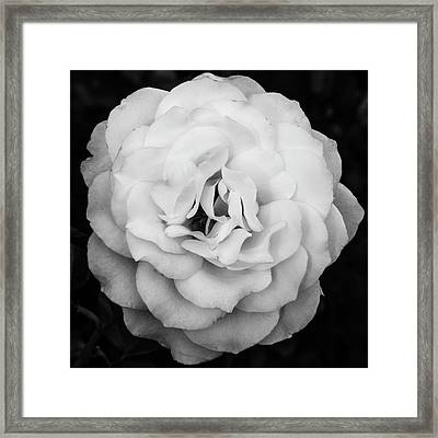 Elegant Rose In Square Composition And Monochrome Framed Print