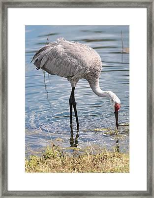 Elegant Sandhill Crane Framed Print by Carol Groenen