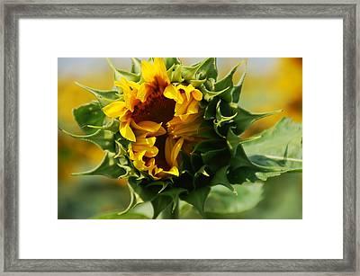 Elegant Sunflower Framed Print by Aimee L Maher Photography and Art Visit ALMGallerydotcom
