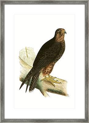 Eleonora Falcon Framed Print by English School