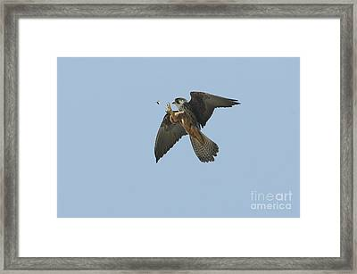 Eleonoras Falcon Framed Print by Richard Brooks/FLPA