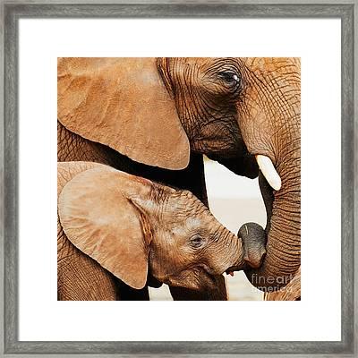 Elephant Calf And Mother Close Together Framed Print