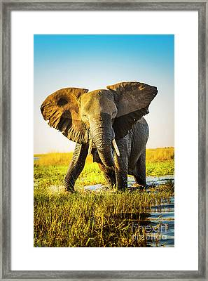 Elephant Charging Framed Print by Tim Hester